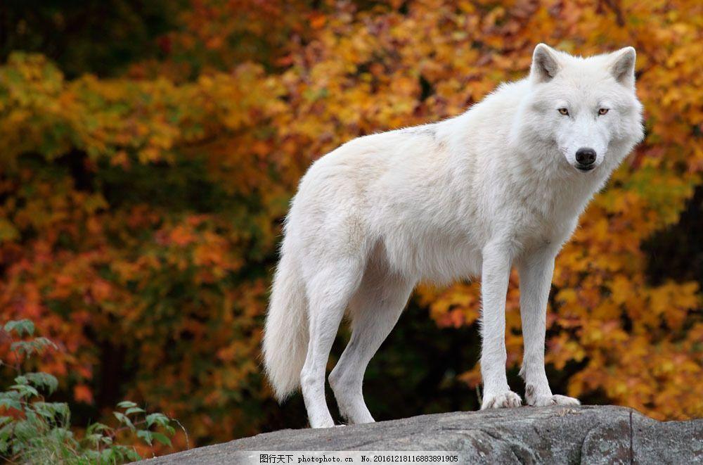 白色狼 白色狼图片素材 野狼 野生动物 动物摄影 陆地动物 生物世界