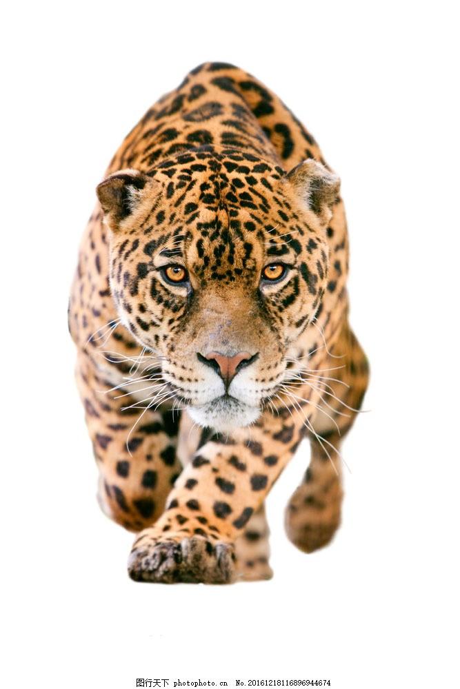 行走的豹子 行走的豹子图片素材 动物 摄影图片 陆地动物 陆地动物