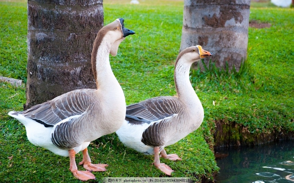 公园里的动物 鸭子 饲养 站立 草丛 树木 植物 河流 湖泊 摄影