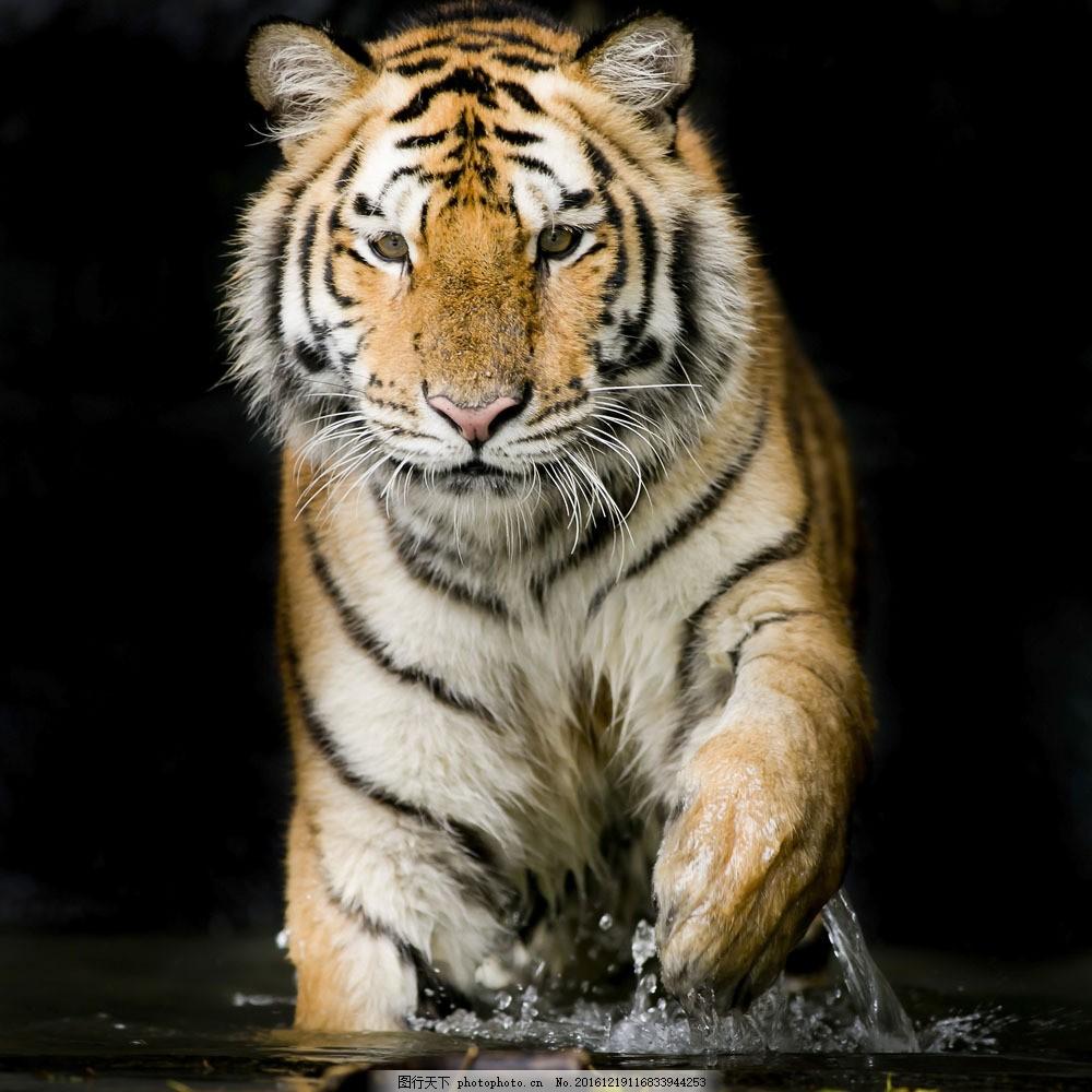 水中行走的老虎 水中行走的老虎图片素材 东北虎 动物 野生动物
