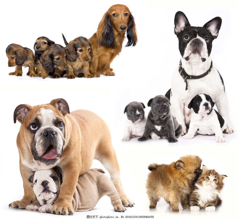 可爱小狗与猫咪图片素材 可爱小狗 猫咪 小猫 斗牛犬 宠物 动物世界