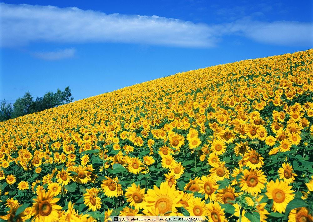 向日葵素材 向日葵素材图片素材 花卉 风景 野花 花海 自然风景