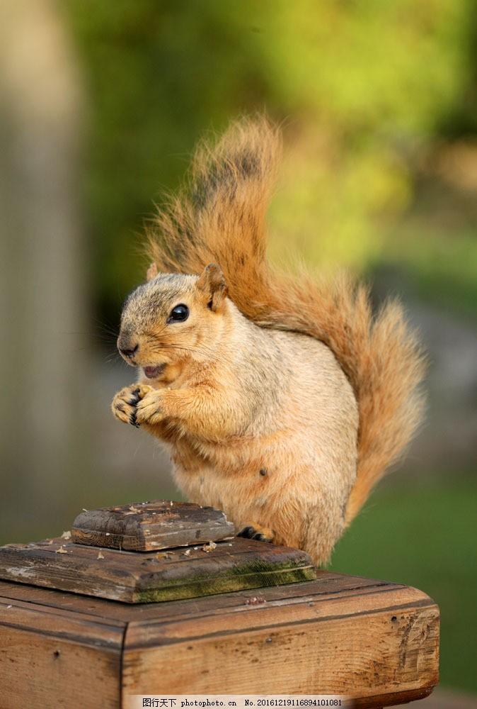 木桩上吃东西的小松鼠 木桩上吃东西的小松鼠图片素材 鼠科 哺乳动物