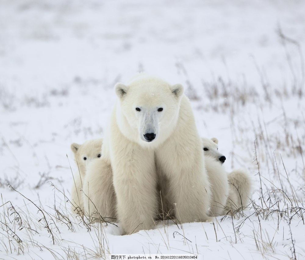 雪地里三只狗熊 雪地里三只狗熊图片素材 动物 野生动物 动物世界