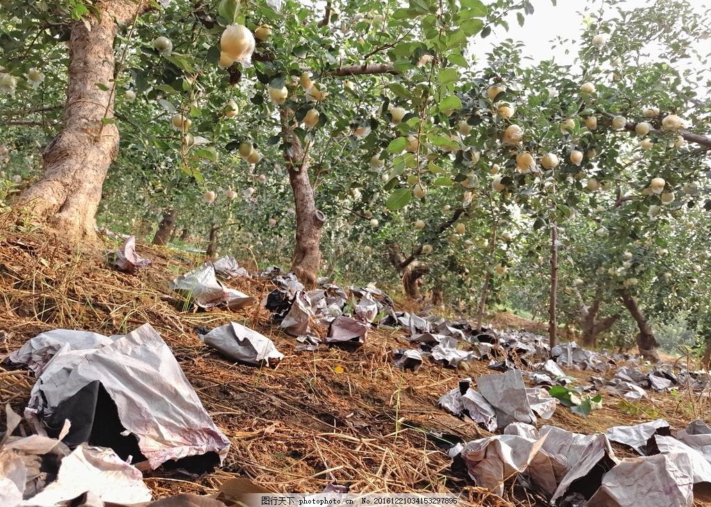 苹果树 果树 果园 山地苹果 红富士苹果树 摄影 自然景观 自然风景 72