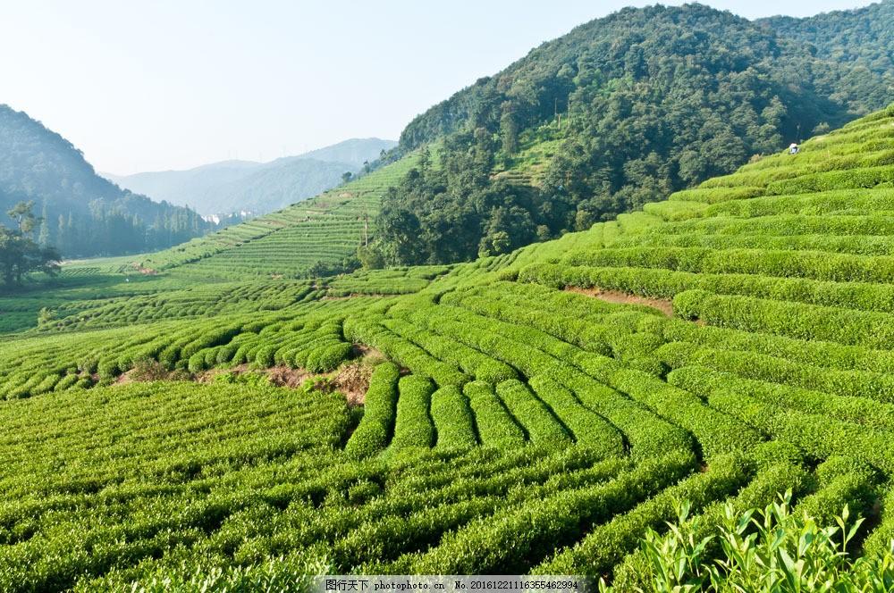 绿色山地茶园图片素材 山地 茶园 茶叶 植物 绿色 山水风景 风景图片