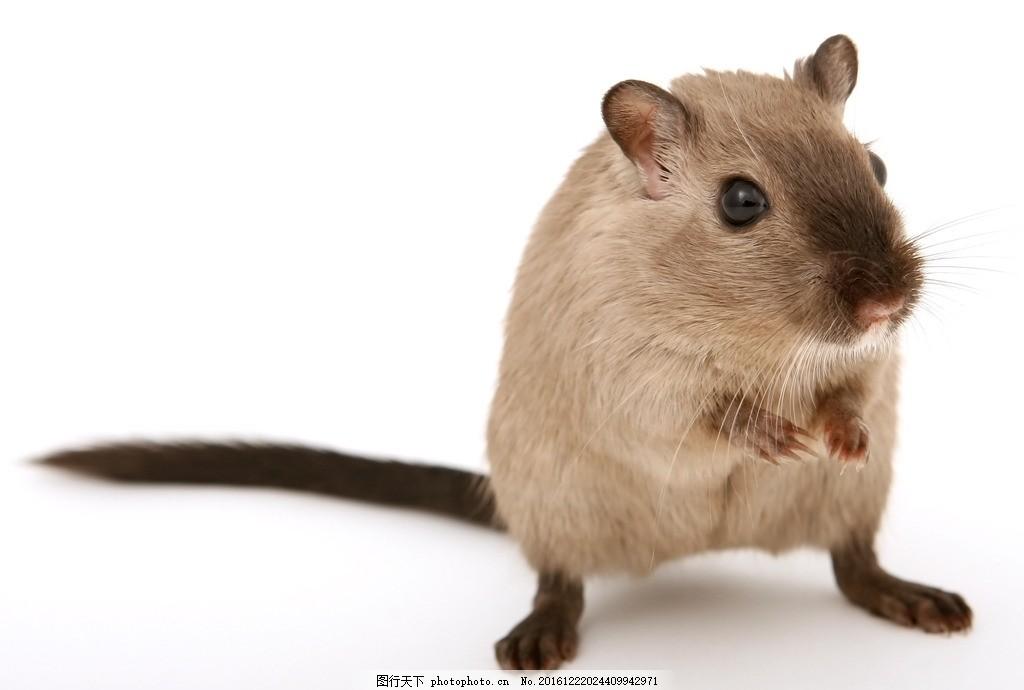 老鼠 动物 哺乳 害虫 地下 摄影 生物世界 野生动物 300dpi jpg
