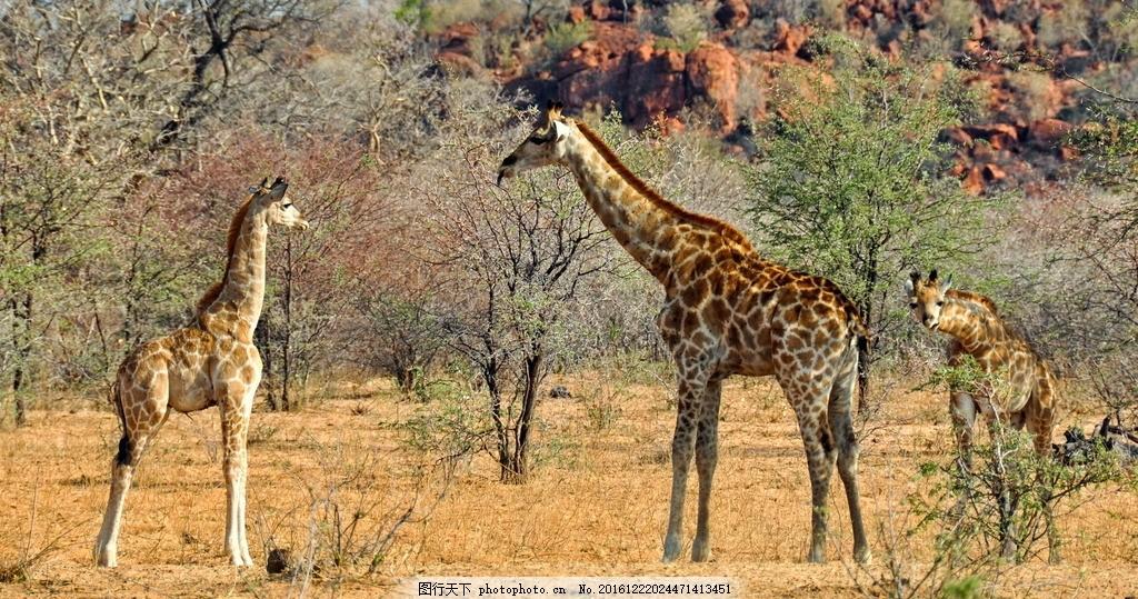 野生长颈鹿 野生 长颈鹿 非洲 反刍 偶蹄动物 南非国寿 长脖 长颈