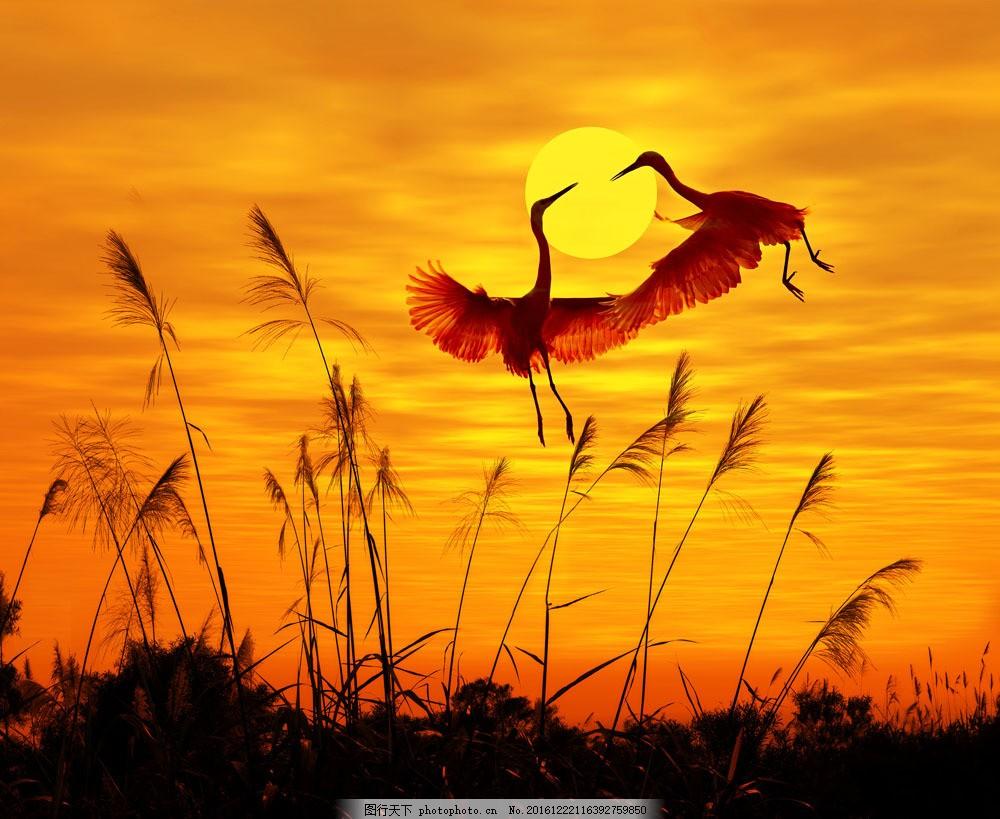 夕阳下的芦苇风景 夕阳下的芦苇风景图片素材 白鹤 动物 夕阳景观