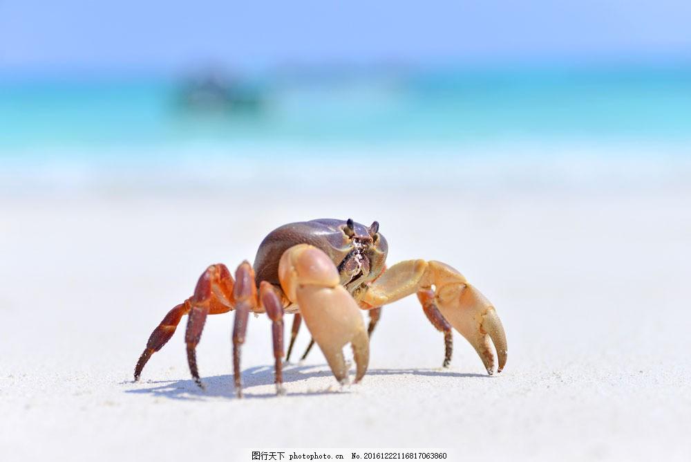 大海螃蟹 大海螃蟹图片素材 海蟹 海洋生物 海底动物 生物世界