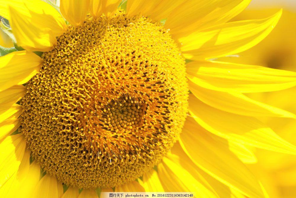 向日葵特写图片素材 季节 秋季 秋天风景 唯美 金黄 向日葵 特写 秋景