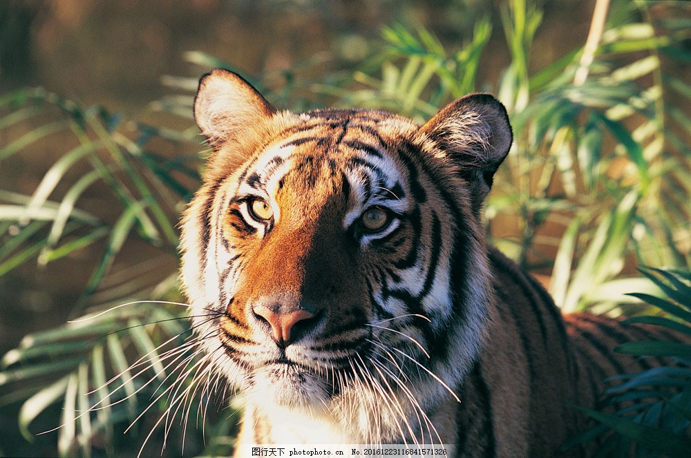老虎摄影 老虎摄影图片素材 野生动物 动物世界 哺乳动物 陆地动物