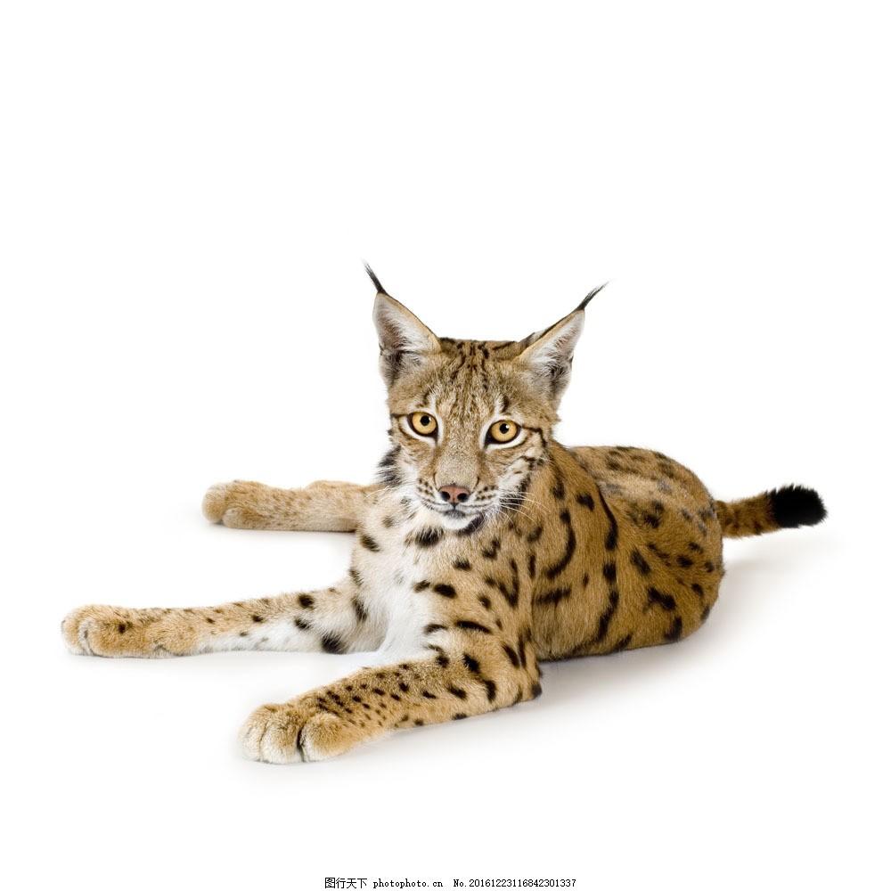 幼豹摄影 幼豹摄影图片素材 豹子 猎豹 金钱豹 野生动物 动物摄影