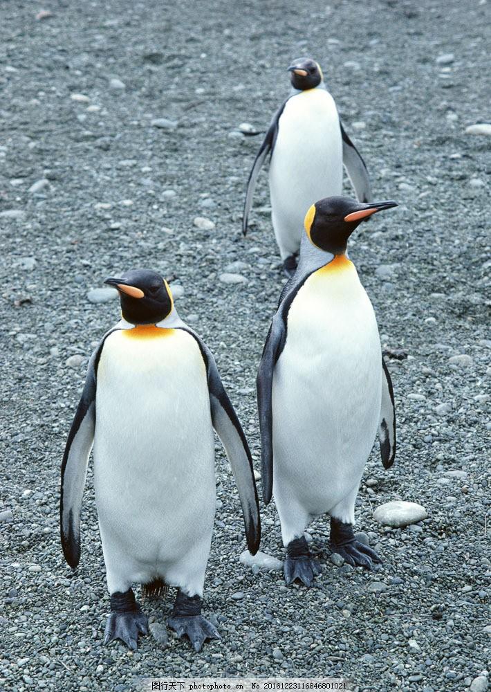 企鹅 企鹅图片素材 动物世界 生物世界 南极生物 水中生物