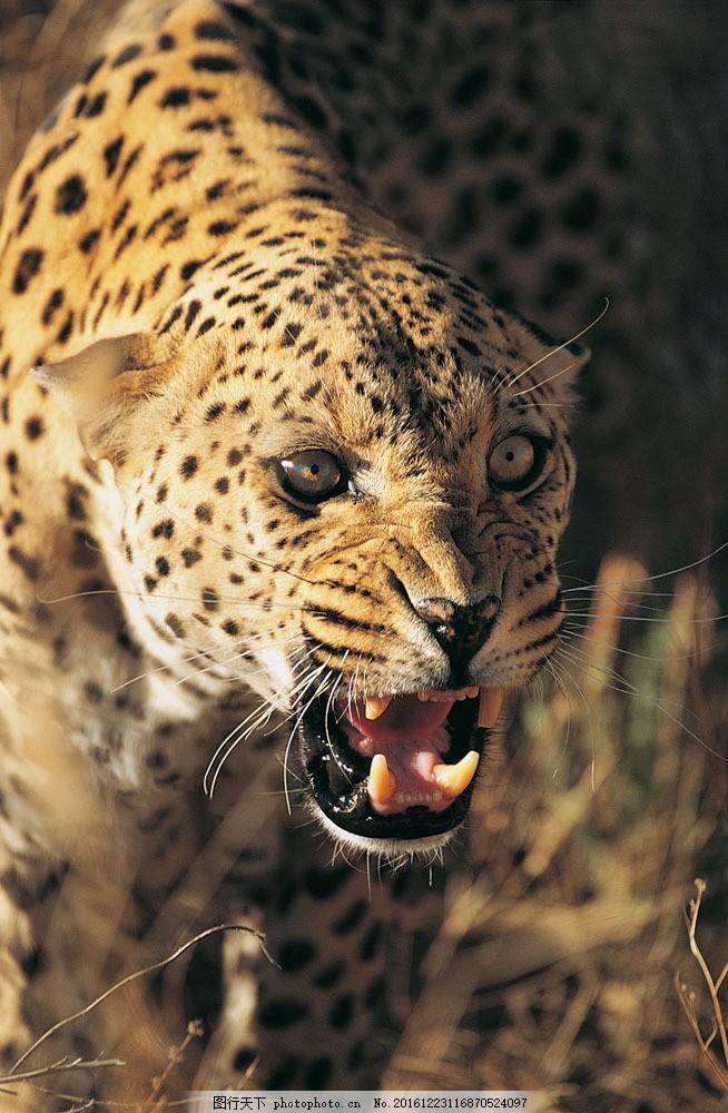 美洲豹 美洲豹图片素材 野生动物 动物世界 哺乳动物 豹子 摄影图