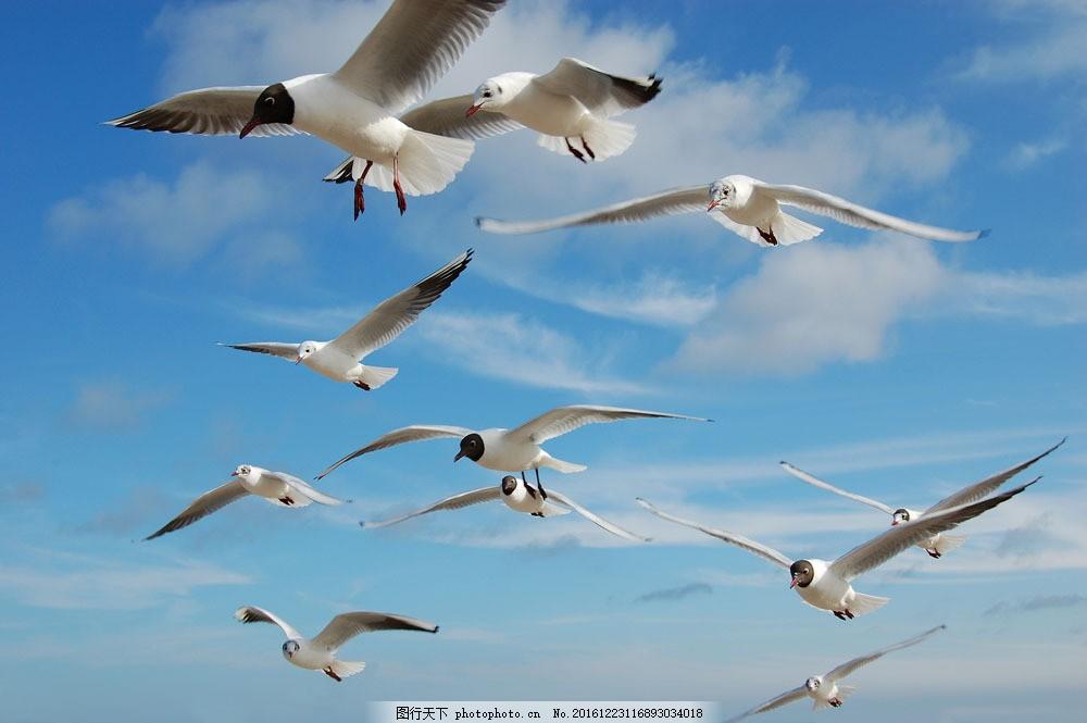 空中的大雁 空中的大雁图片素材 蓝天白云 飞鸟 飞禽 动物摄影