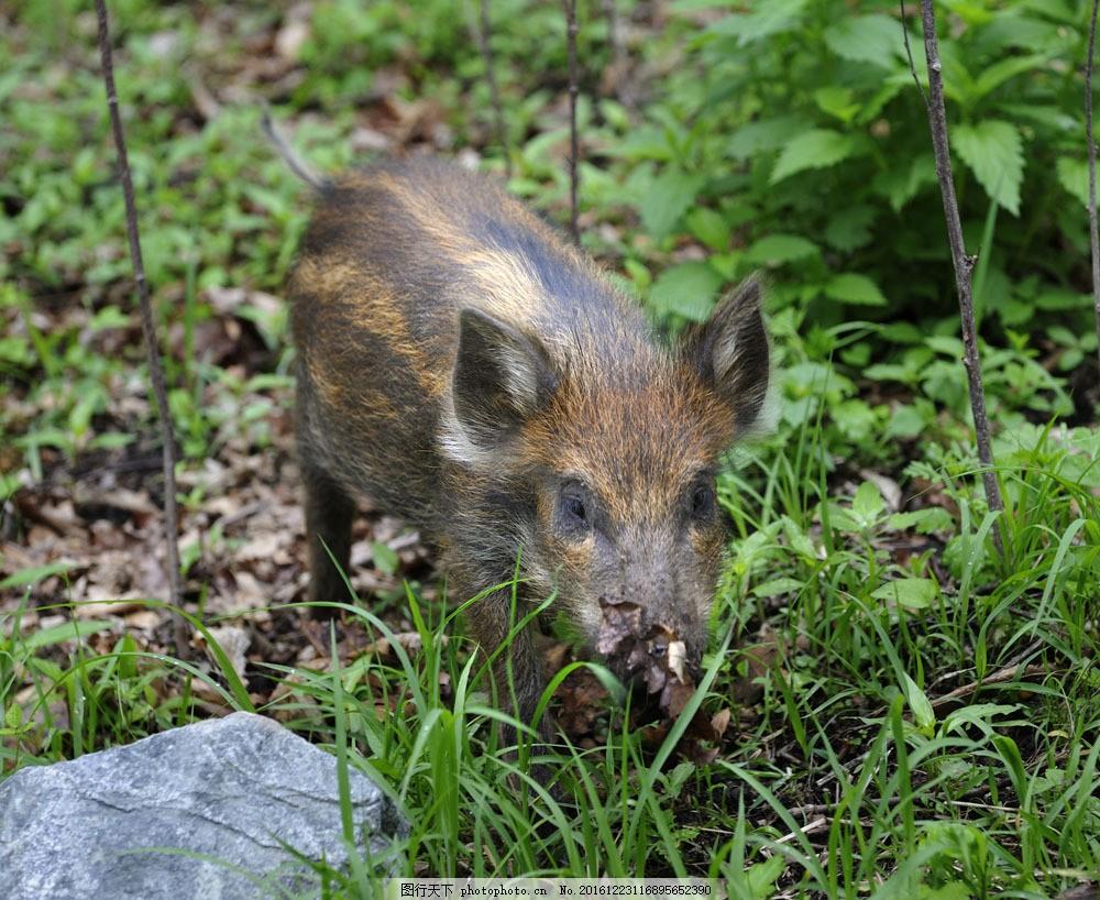 森林的野猪图片