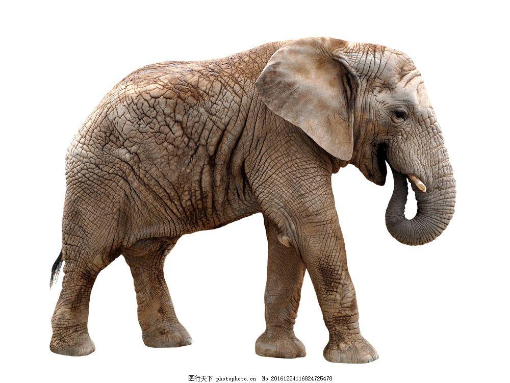 向右行走的大象 向右行走的大象图片素材 野象 动物 野生动物 动物