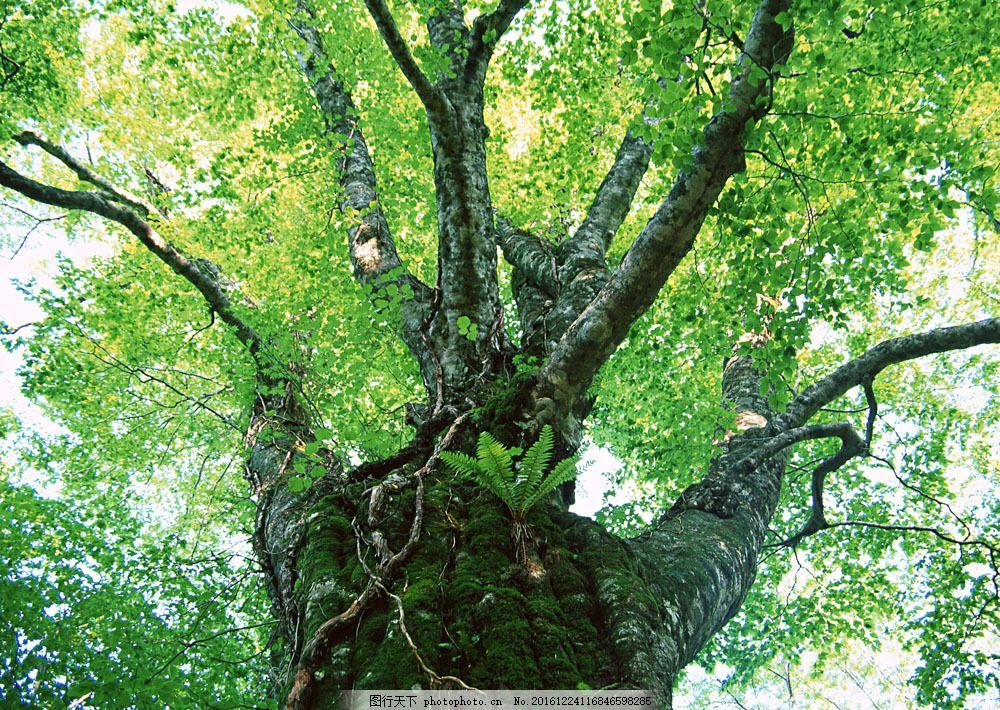参天大树图片