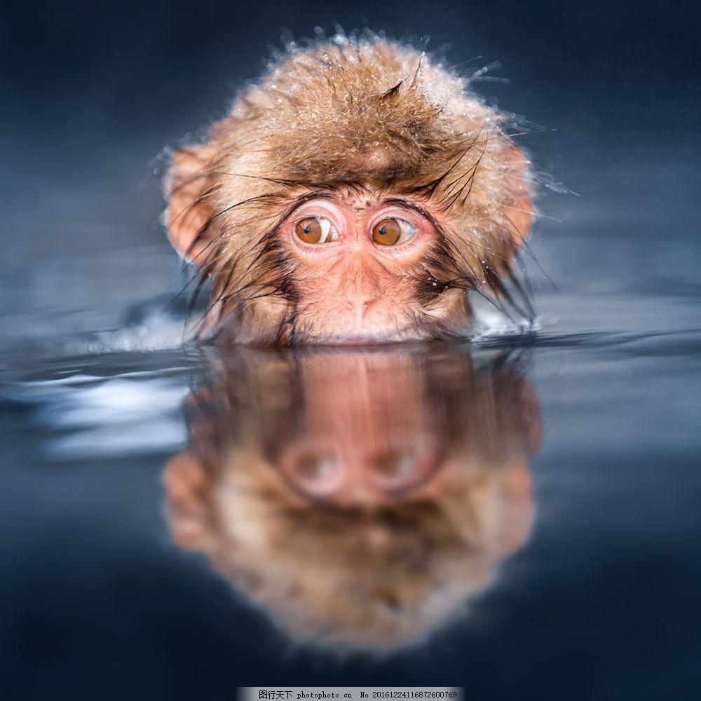 水里游泳的猴子 水里游泳的猴子图片素材 野生动物 动物世界 动物摄影