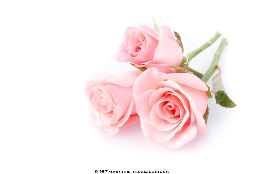 三朵玫瑰花图片
