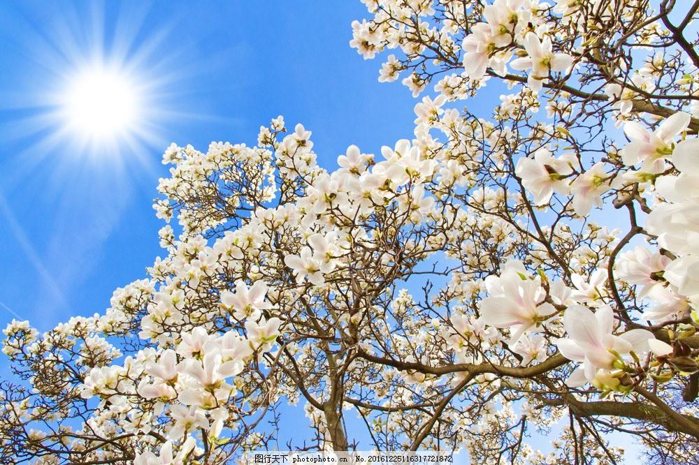阳光下的白色花朵图片素材 阳光 太阳 白色花朵 花朵 植物 花卉 鲜花