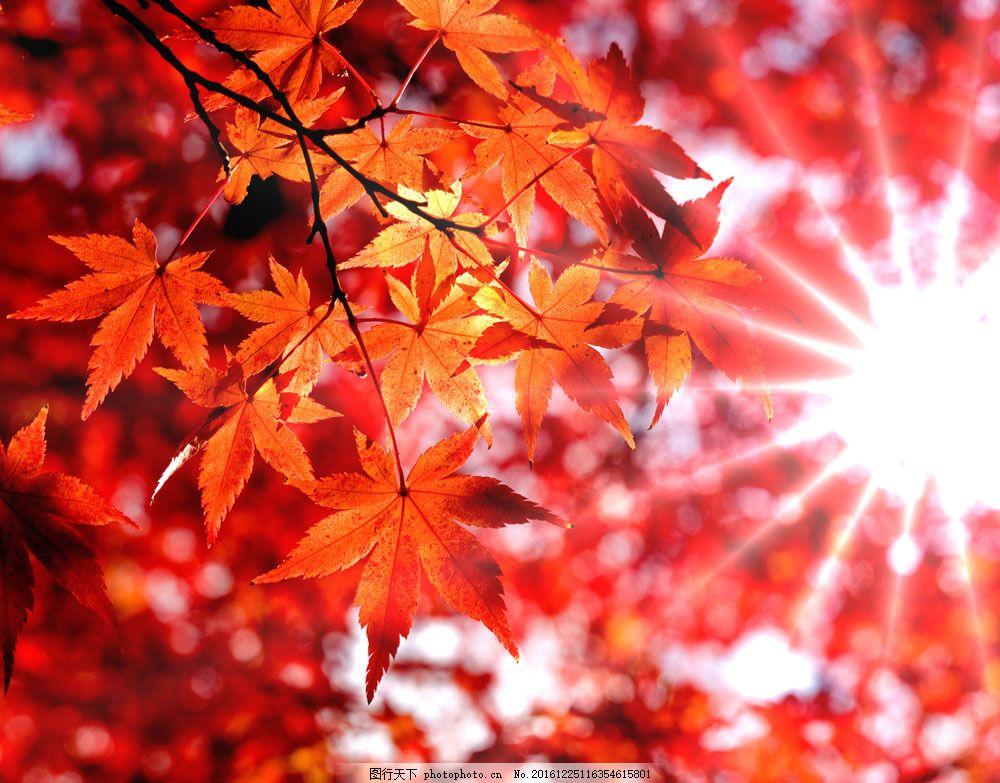 秋天风景图片素材 秋天风景 美丽风景 树叶 枫叶 黄叶 树木 枫树 树林