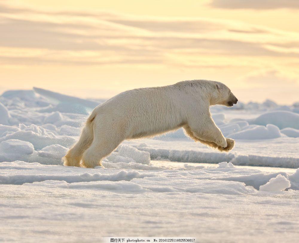 奔跑的北极熊图片素材 北极熊 冰雪 冰川 动物摄影 动物世界 陆地动物