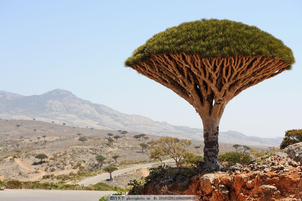 非洲植物摄影 非洲植物摄影图片素材 树木风景 非洲树木 美丽风景