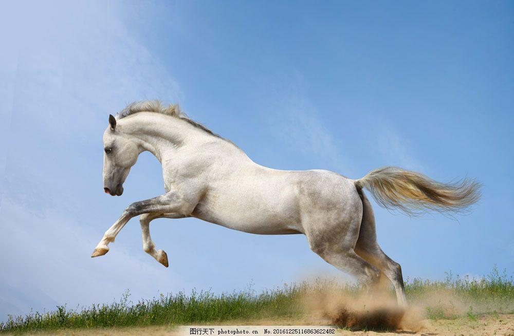 正在奔跑的白马 正在奔跑的白马图片素材 动物 摄影 蓝天 陆地动物