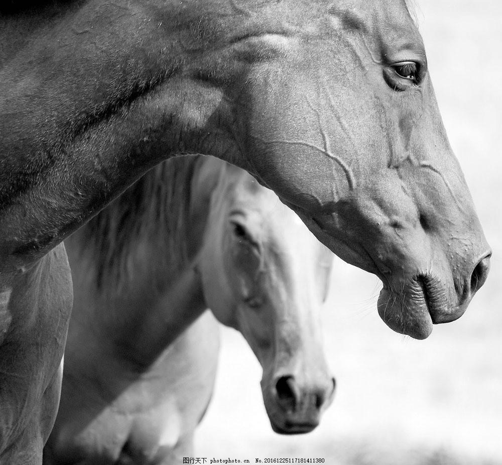 两匹马黑白照片 两匹马黑白照片图片素材 种马 马鬃 保护动物 其他类别