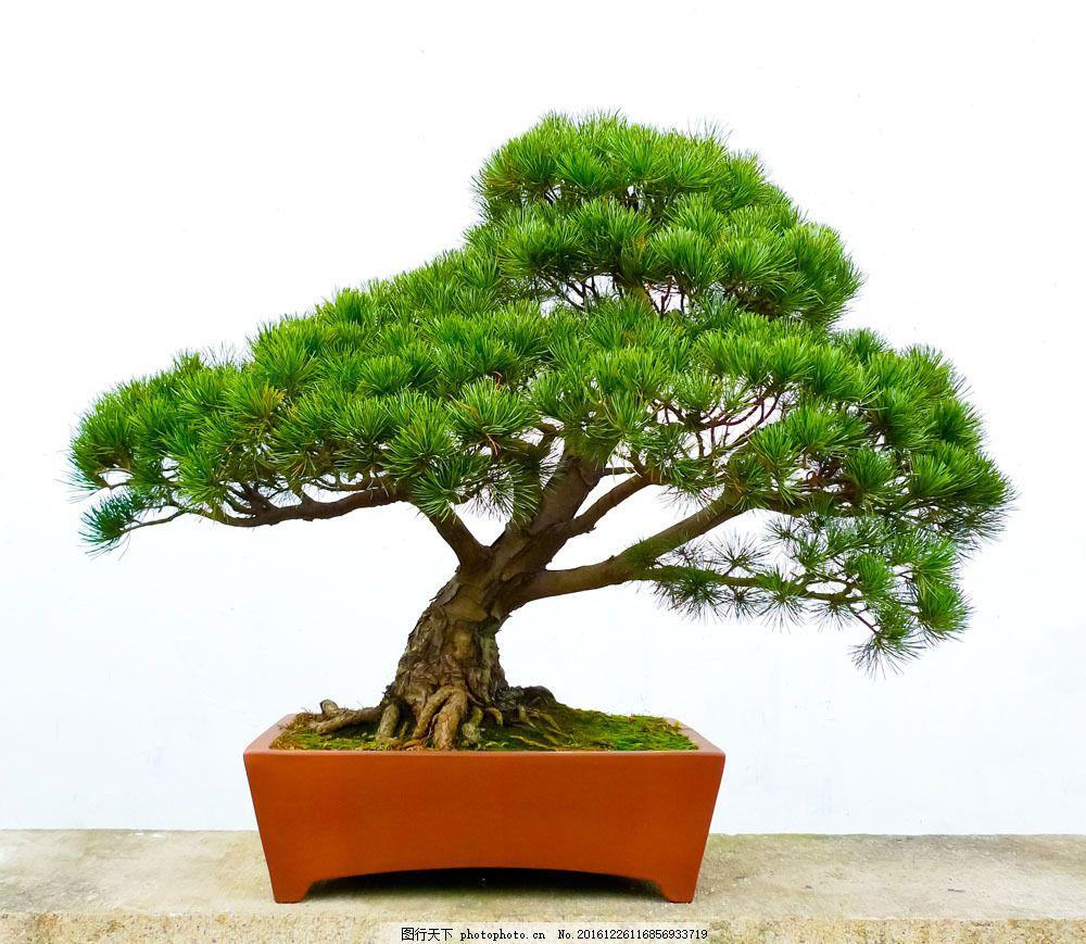 一盆松柏盆栽 一盆松柏盆栽图片素材 嫩绿 叶子 绿叶 树木 树