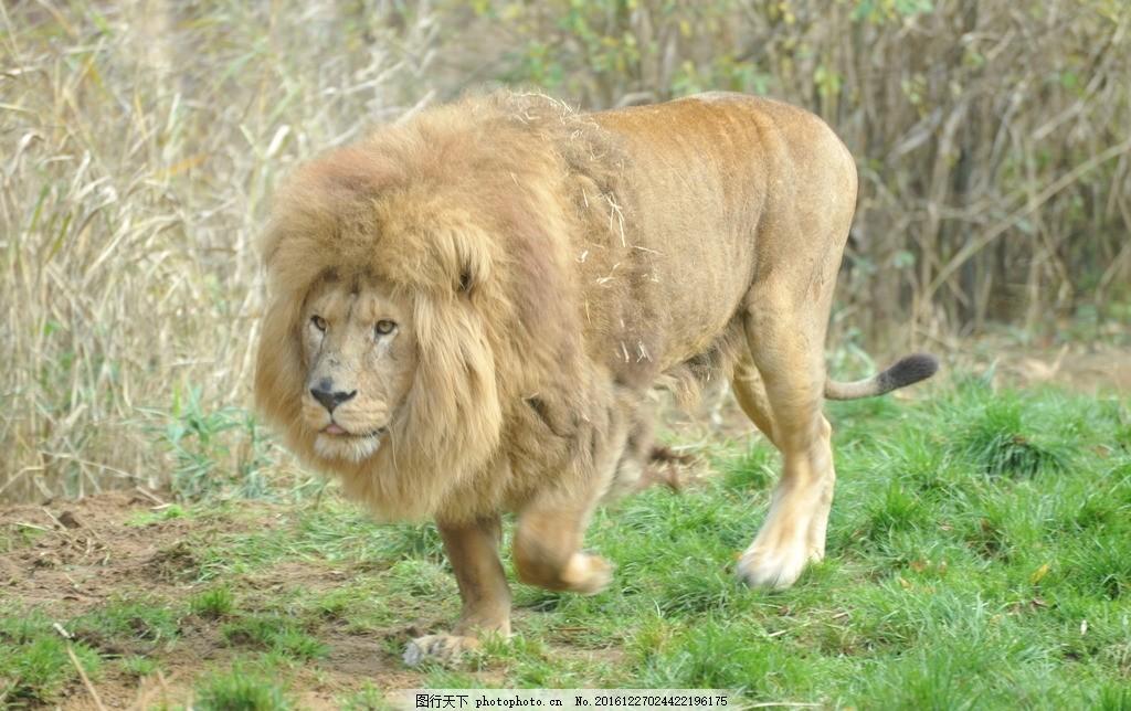 狮子 雄狮 猛兽 猫科动物 凶猛 食肉动物 飞禽走兽 动物 摄影 生物