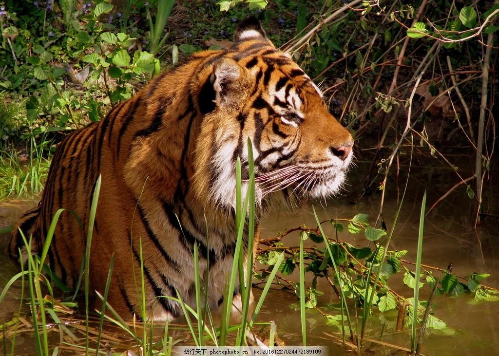 虎 老虎 东北虎 野生 野性 生态 凶猛 动物 摄影 生物世界 野生动物