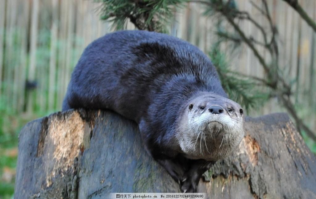 水獭 獭猫 鱼猫 水狗 水毛子 水猴 摄影 生物世界 野生动物 300dpi