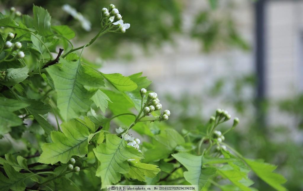 夏天绿色叶子 树叶 树木 绿色叶子 白色花 花草摄影 摄影 生物世界 树
