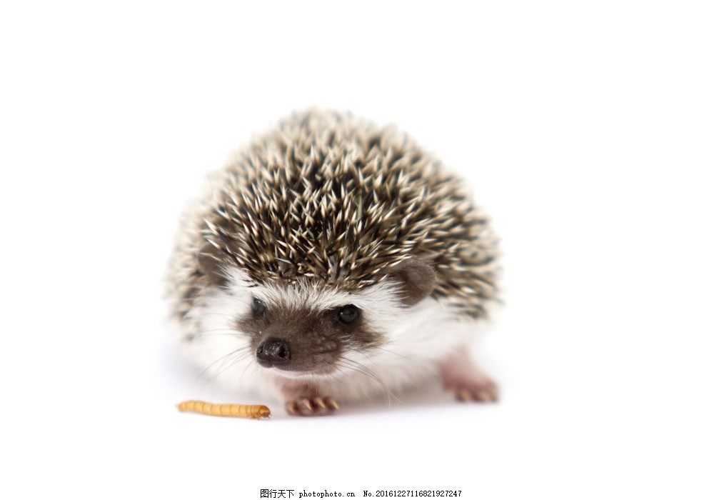 吃虫子的刺猬 吃虫子的刺猬图片素材 可爱动物 陆地动物 野生动物