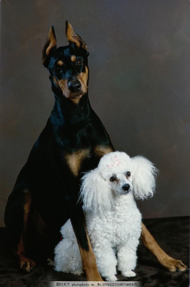 狗 宠物狗 狗素材 宠物 宠物摄影 动物 动物世界 可爱动物 狗狗图片