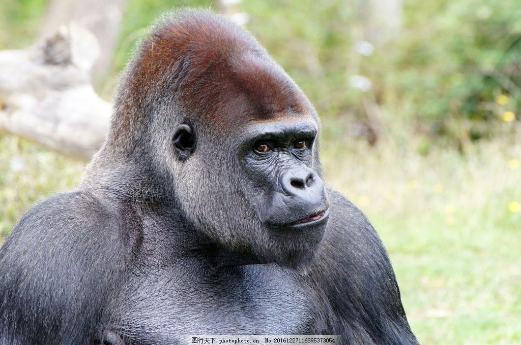大猩猩摄影 大猩猩摄影图片素材 黑猩猩 野生动物 动物摄影 动物世界