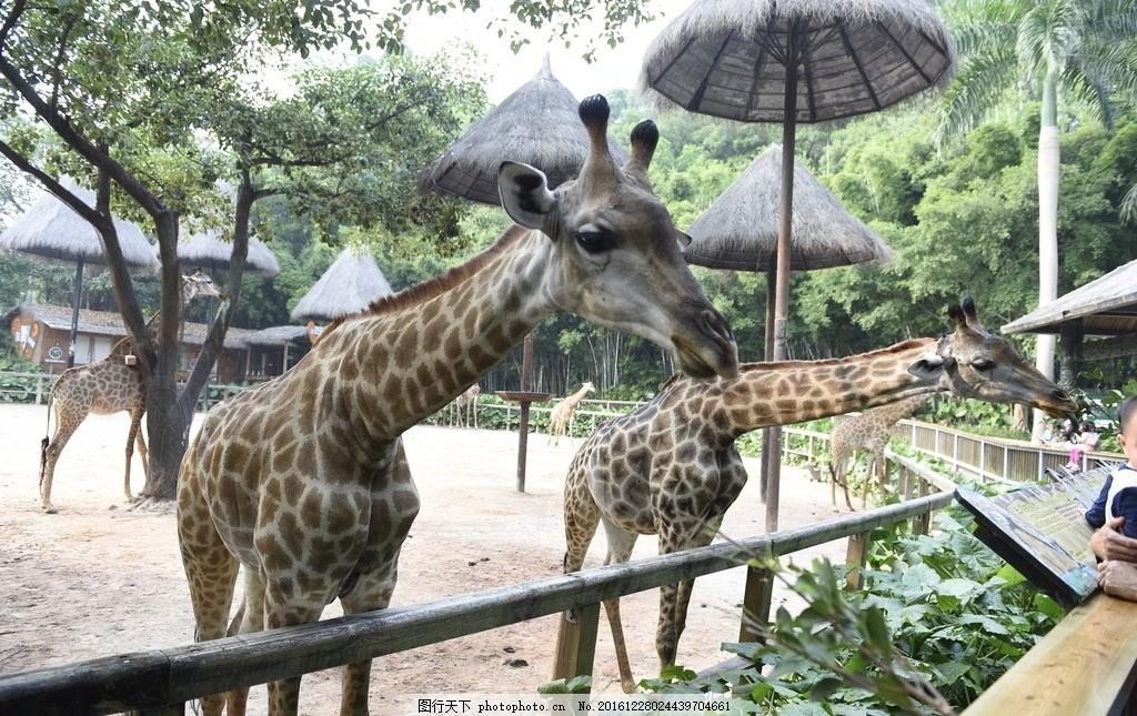 长颈鹿 长劲鹿 吃东西 大眼睛 动物园 好看 摄影