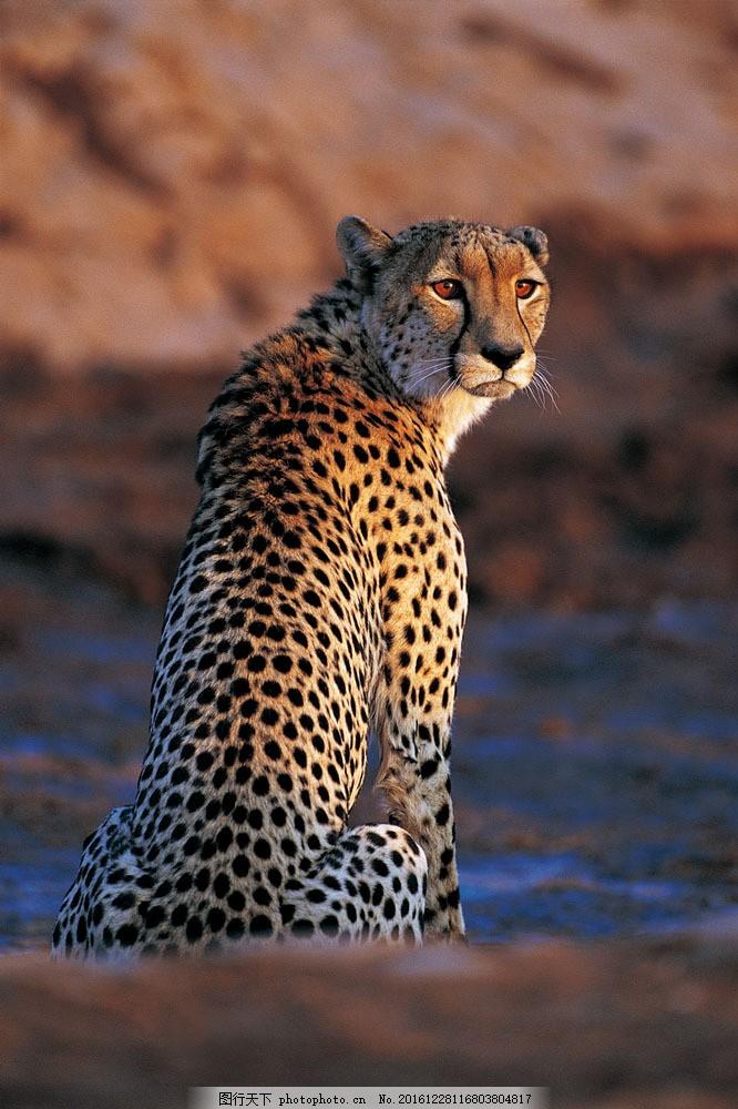 金钱豹子图片素材 野生动物 动物世界 哺乳动物 金钱豹 猎豹 豹子