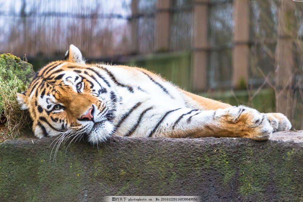 动物园里的老虎图片
