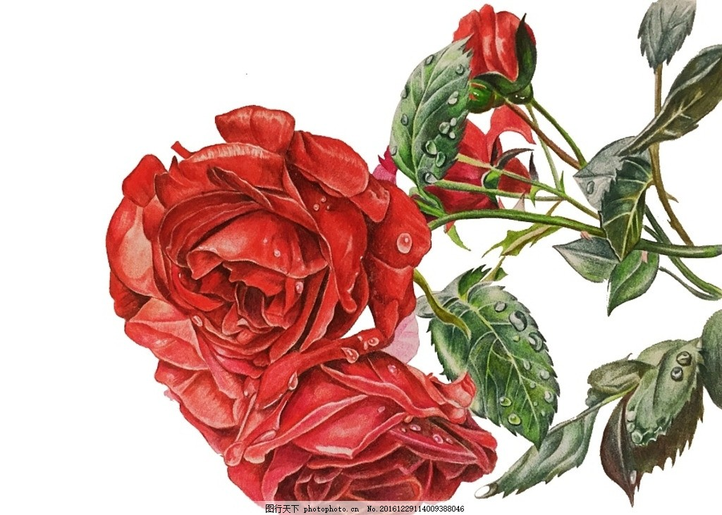 彩铅玫瑰花