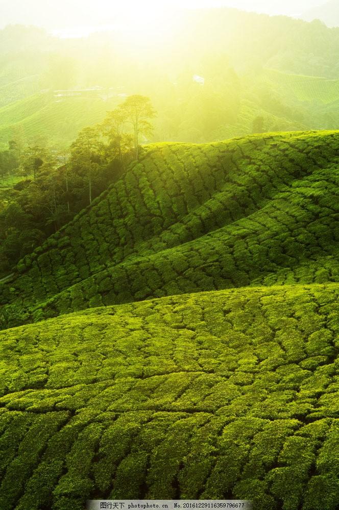 茶山风景图片素材 茶山风景 茶 茶园风景 春天茶山风景 美丽风景摄影
