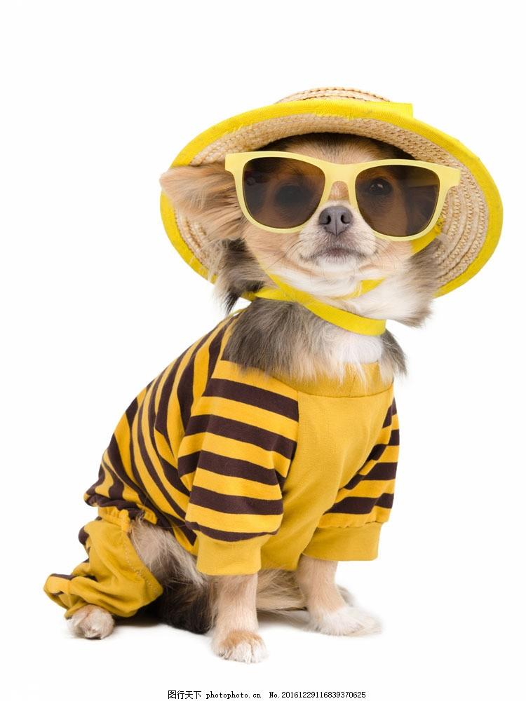 可爱小狗图片素材 可爱狗狗 宠物狗 小狗 可爱动物 戴眼镜的狗 狗狗
