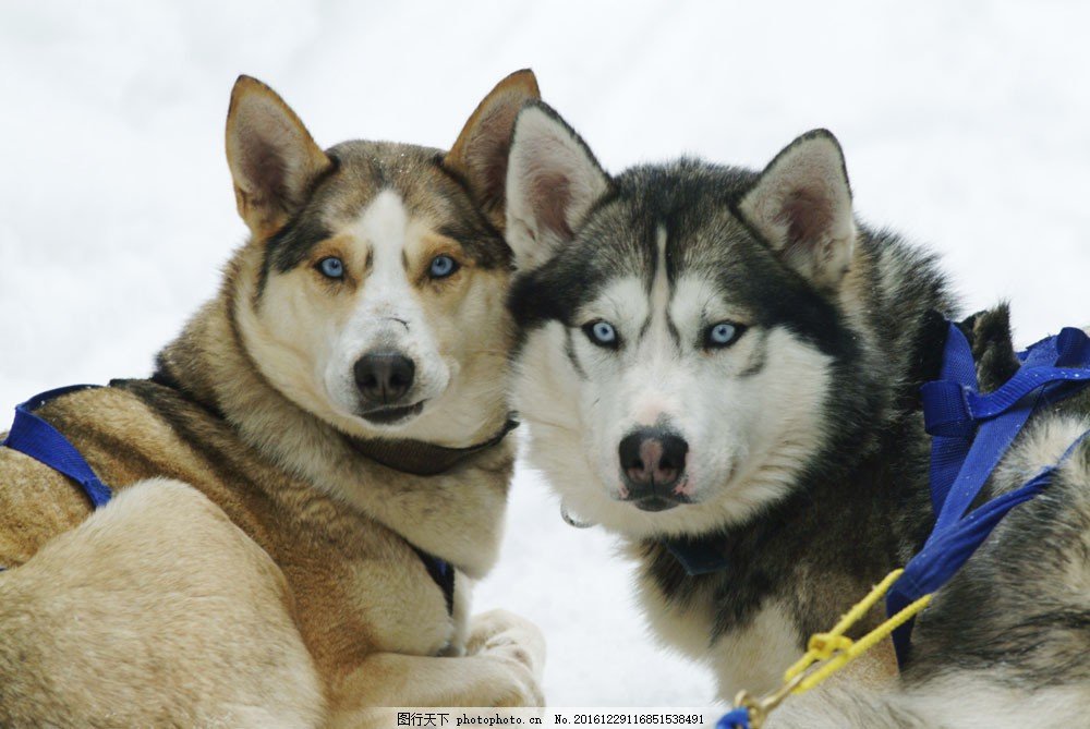 雪橇犬 雪橇犬图片素材 动物 小狗 动物世界 陆地动物 生物世界