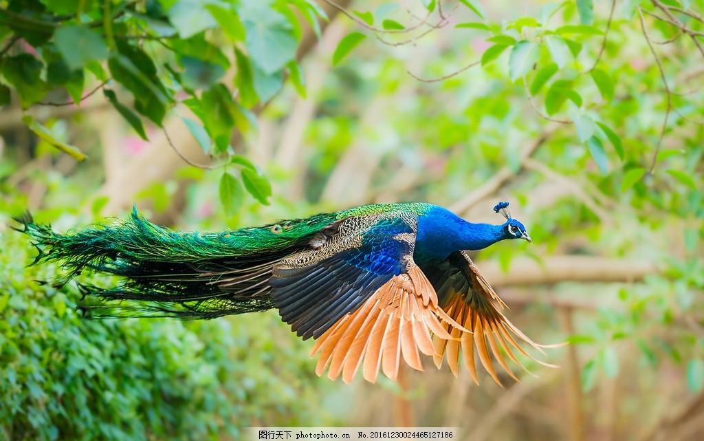 孔雀 孔雀特写 动物 孔雀开屏 摄影 摄影 生物世界 野生动物 72dpi