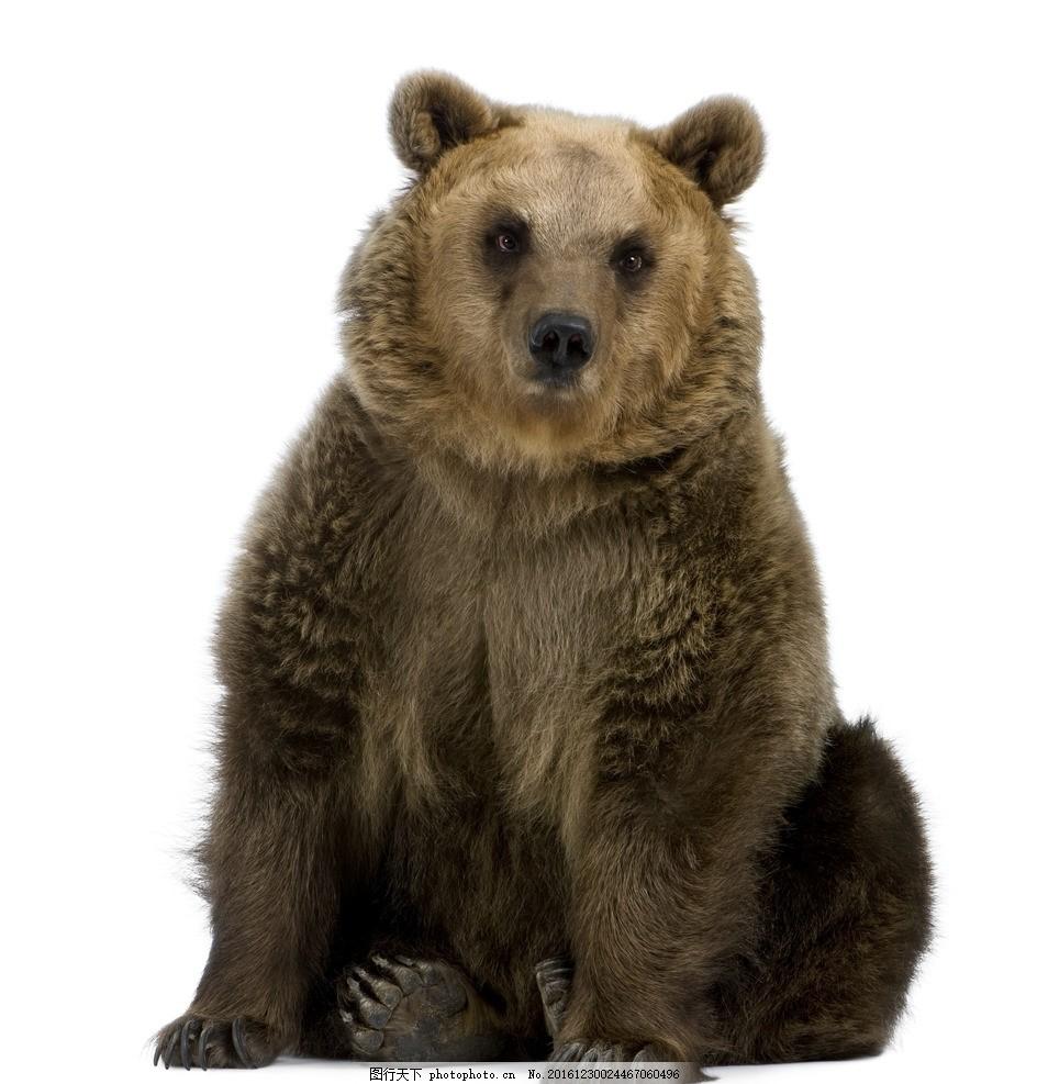 棕熊高清 黑熊 保护动物 白底图片 直视 高清图片 黑色 脚掌