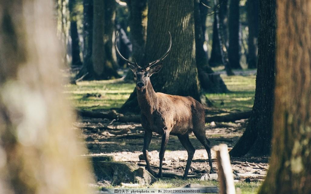 麋鹿 梅花鹿 大自然 森林 树林 保护动物 北欧 风景 景色 唯美风景