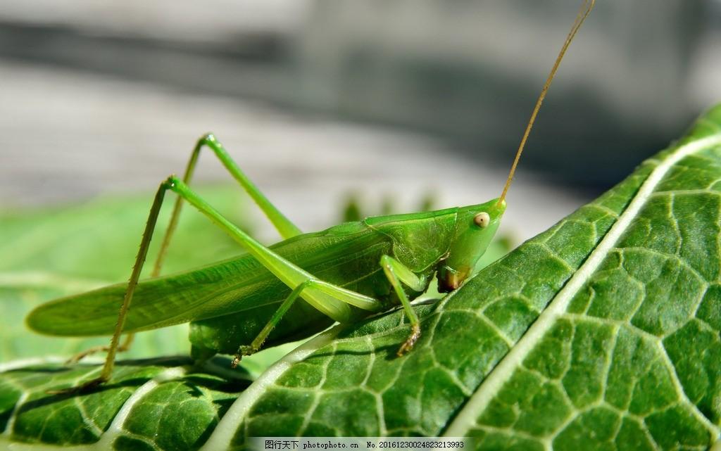 深青色的蚂蚱高清摄影 蚱蜢 草蜢 动物 害虫 节肢动物 高清图片